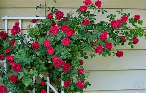9 loại hoa nở quanh năm, dễ trồng ở ban công