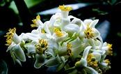Tháng hai trắng ngần hoa bưởi…