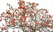 Đỏ trời hoa gạo tháng Ba