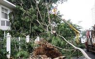 """TP.HCM: Mùa mưa cận kề, cư dân Phú Mỹ Hưng nơm nớp nỗi lo sống dưới hàng cây """"cấm"""""""