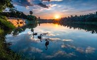 Những đàn thiên nga thân thiện với cư dân trong khu đô thị xanh nhất Hà Nội