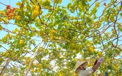 Nho Ninh Thuận: Đặc sản đong đầy nắng gió vùng đất hạn