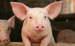 Lợn nuôi nhà văn
