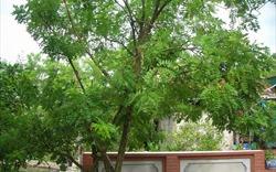 Phong thủy cây xanh: Trồng cây gì trước nhà để con cháu đỗ đạt vinh hiển?
