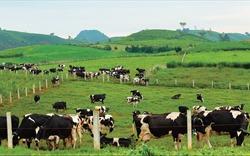 Sở hữu 75% vốn điều lệ GTNfoods, Vinamilk tham gia quản lý Mộc Châu Milk
