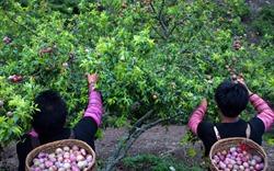 Kỳ I: Mộc Châu mùa hái quả