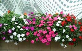 Khóm hoa dừa cạn nơi ban công lộng gió