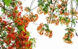 Hải Phòng – Rợp trời hoa phượng đỏ…