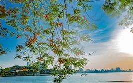 """Phượng hồng """"bung lụa"""" giữa Hà thành"""