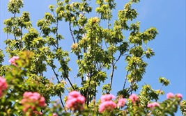 Hàng phong lá đỏ trổ lá xanh tươi giữa nắng hè gay gắt
