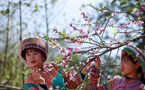 Cần gì tới Nhật Bản hay đi Hàn, cả một trời hoa đào ngợp ngời ở Fansipan này